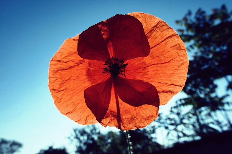 Poppy Flower Poppy Close-up Plant Nature Sky Blue Low Angle View Day Beauty In Nature Orange Color Growth Focus On Foreground Sunlight Freshness Flowering Plant No People Tree Outdoors Flower Red Flower Head