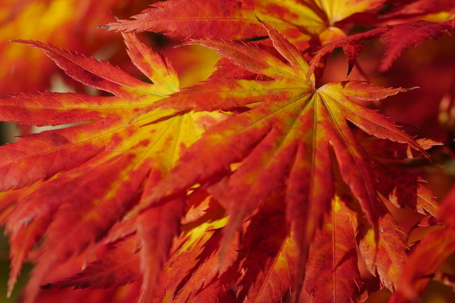 Autumn Backgrounds Beauty In Nature Change Close-up Day Full Frame Growth Leaf Leaves Maple Leaf Natural Condition Nature No People Orange Color Outdoors Plant Plant Part Red Selective Focus Vulnerability