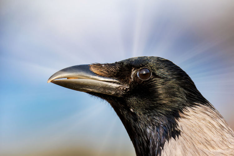 portrait of crow Animal Themes One Animal Bird Animal Animal Wildlife Animals In The Wild Vertebrate Close-up Focus On Foreground Day No People Beak Looking Nature Looking Away Animal Body Part Outdoors Animal Head  Black Color Side View Profile View Animal Eye Crow
