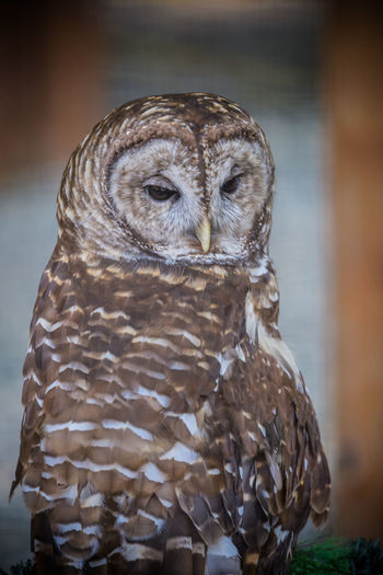 Barred Owl face