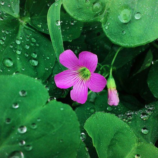 Mobilephotography Flowerlover EyeEm Flower Everydayshouldbeaflowerday Pink Flower Macro Raindrops Green Plant RainyDay