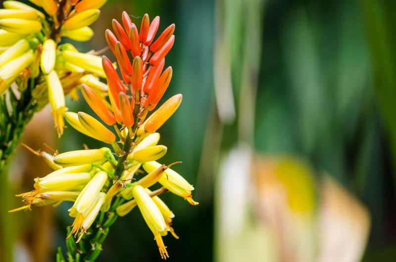 Close-up Flowering mountain aloe in yellow and orange colors in a botanical garden. Orange Aloe Flower Beauty In Nature Blooming Botanical Close-up Day Flower Flower Head Fragility Freshness Garden Growth Nature Outdoors Petal Plant Wild Flower Yellow