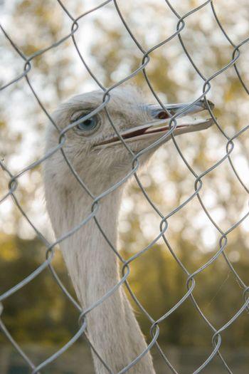 Emu Albino Emu