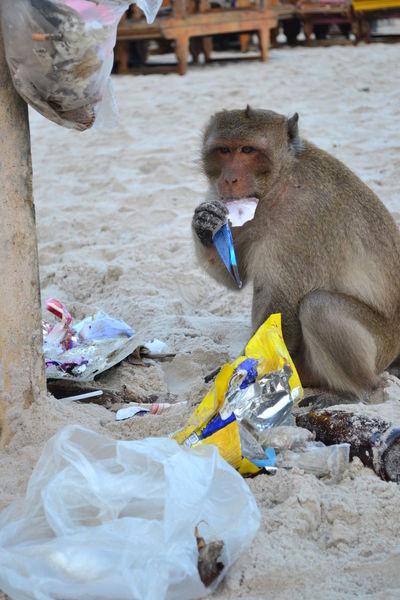 monkey is eating the junk Eating JUNKFOOD Junk Animal Themes Beach Beach Day Day Eatingjunk Junk Food Junk Shop Junkyard Mammal Monkey No People One Animal Outdoors