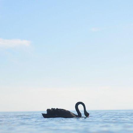 'Black Swan'.. How I wish aku ada lense best² utk pakai snap pic... Harap 50mm f1.8 ja yg ada pun.. Unedited Brightonbeach Melbourne Swan *aku pun tak tau betul ke tak jenis binatang ni