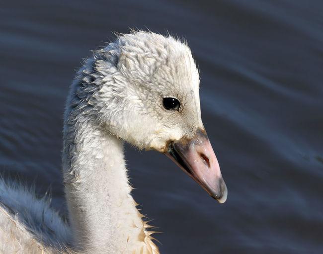 Close-Up Of Bird Swimming On Lake