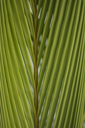 New Palm Frond Lines And Symmetry Shades Of Green  Green Color Growth Leaf Nature No People Palm Tree Close-up Backgrounds Plant Frond Outdoors Freshness Day Beauty In Nature