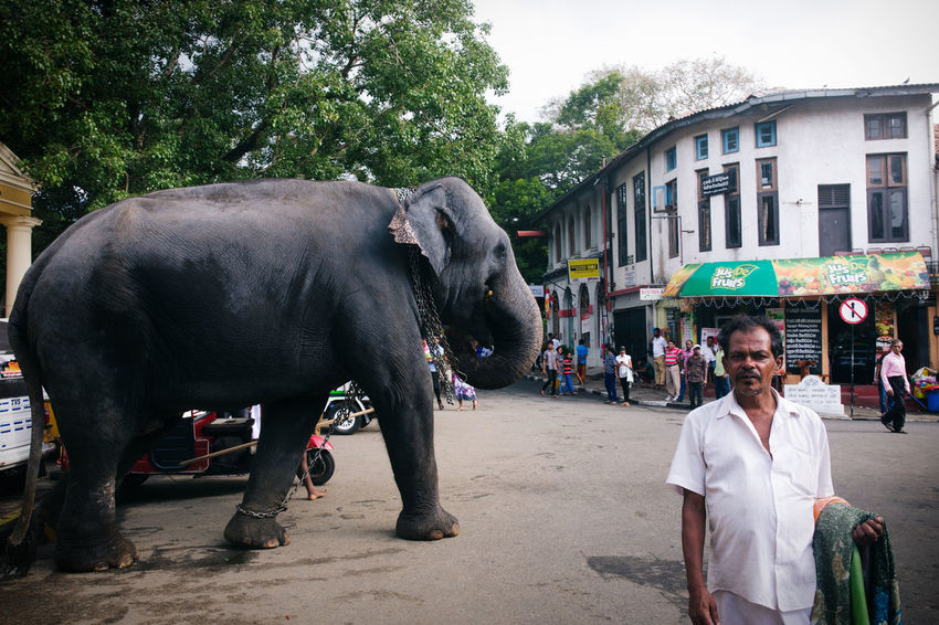 Travel in in the island nation of Sri Lanka Adventure Architecture ASIA City Cow Create Day Discovery Domestic Animals Exotic Explore Food Livestock Mammal Men One Animal One Person Outdoors Real People Sri Lanka Travel Traveling Tree The Street Photographer - 2017 EyeEm Awards