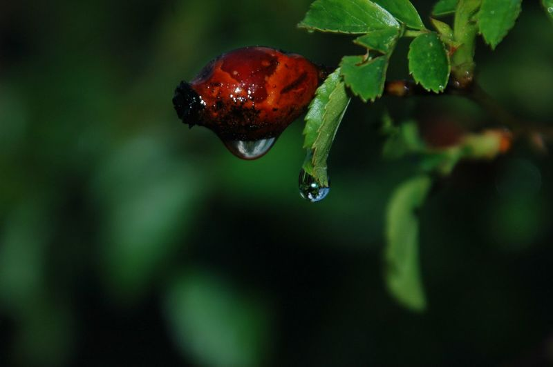 Close-Up Of Wet Red Fruit On Tree During Rainy Season