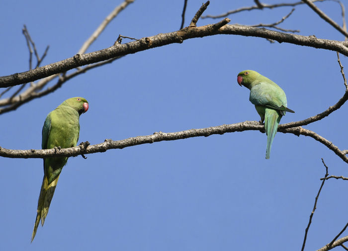 Pair of Rose Ringed Parakeet Perched on Branch of a Tree Copy Space Green India Maharashtra Nature Red Ring Necked Parakeet Tree Animal Themes Animals In The Wild Bill Bird Blue Sky Branch Clear Sky Female Male No People Pair Parrot Parrots, Perched Perching Rose Ring Parrot Red Wildlife