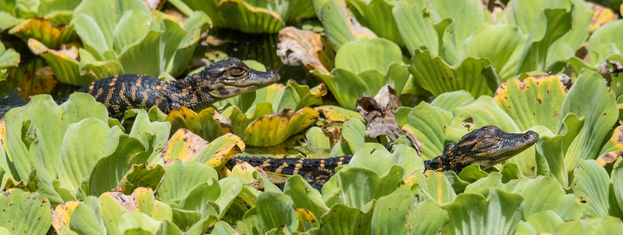 Apr 2019 - Baby (hatchlings) American Alligators Animal Head  Water Close-up Outdoors Sign No People Plant Part Day Leaf Reptile Plant Green Color Animal Animal Themes Animals In The Wild Animal Wildlife Vertebrate Nature Two Animals Reptiles Corkscrew Swamp