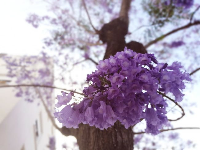 En primavera siempre vuelven... LAS JACARANDAS Suena🎧🎶 Amar pelos dois Salvador Sobral Jacaranda Jacaranda Tree Jacaranda Leaves Jacarandas En Flor Jacarandás Springtime Flower Fragility Tree Beauty In Nature Purple Day Outdoors Tesis99 Microhistoriastesis99 Microhistorias HuaweiP9 Light Scenics Flowers Collection Tesis99 Jacaranda Mimosifolia Jacaranda Trees