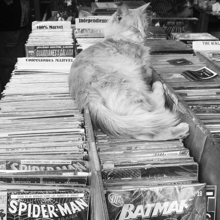 Animals Batman Book Store Cat Cats Comic Comic Book Cat Comic Books Domestic Animals Enjoying Life Feline Photography Relax Relaxing Relaxing Moments Siesta Sleepy Kitty Spiderman Store Stores
