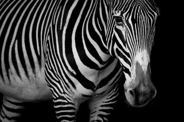 Animal Black And White Grevy's Zebra HEAD Headshot Imperial Zebra Mammal Mono Monochrome Nature Shadow Shadows Wildlife Zebra