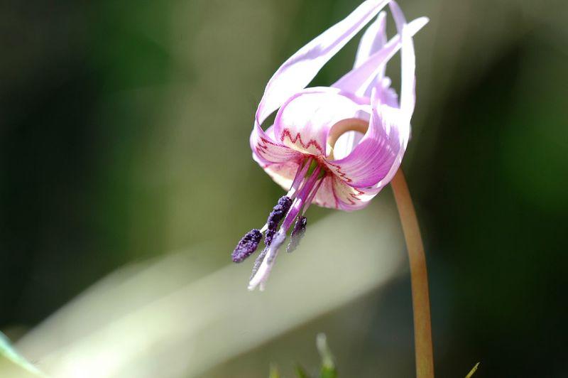カタクリ開花。 EyeEm Flower Flower Collection Flowers Spring Time EyeEm Nature Lover Spring Colours Spring 春 Japan かたくり
