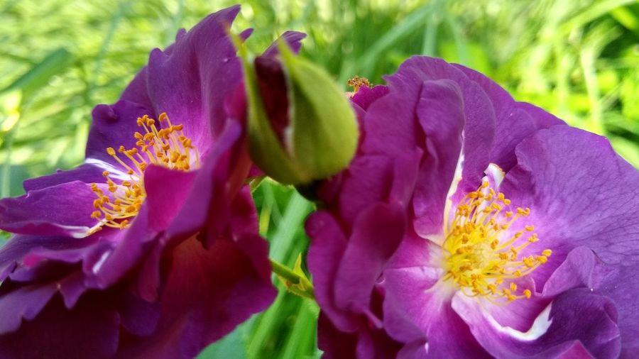 hemnen Rhapsody In Blue Rose♥ Garden Photography EyeEm Selects Flower Head Flower Petal Springtime Purple Multi Colored Close-up Plant