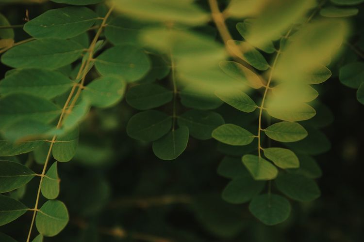 Leaf Nature Growth Green Color Plant Close-up Outdoors Day No People Beauty In Nature Tree Branch Hanging Vine - Plant Freshness Defocused Fragility