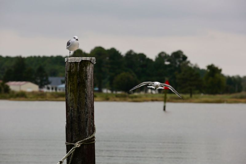 Seagull Perching On Wooden Post By River Against Sky