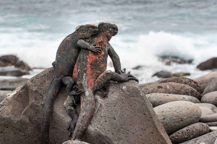 Close-up of iguanas on rock at beach