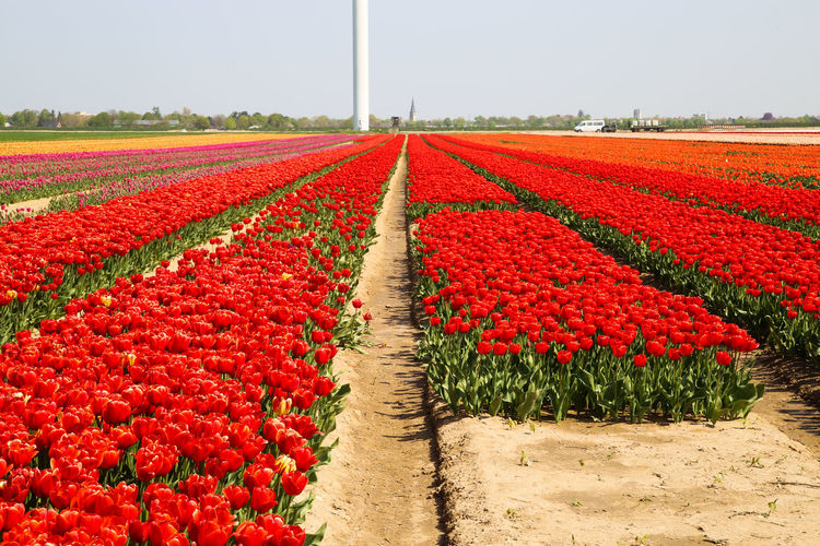 Red flowers on field against sky