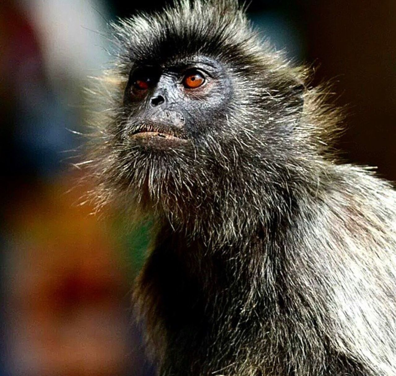 one animal, animals in the wild, animal wildlife, monkey, portrait, close-up, animal themes, mammal, no people, looking at camera, outdoors, day, nature