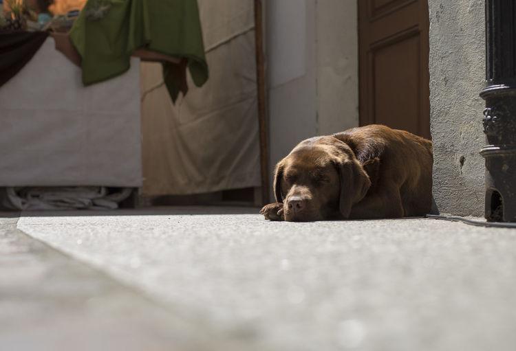 A labrador retriever is sleeping