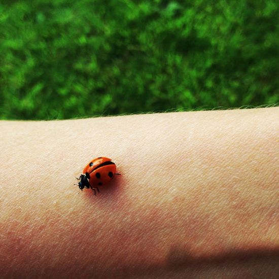 Ladybird Ladybird Lady Bird Colours Nature Part Of The Body Green Colour Black Dots Summer Beetle Different Focus