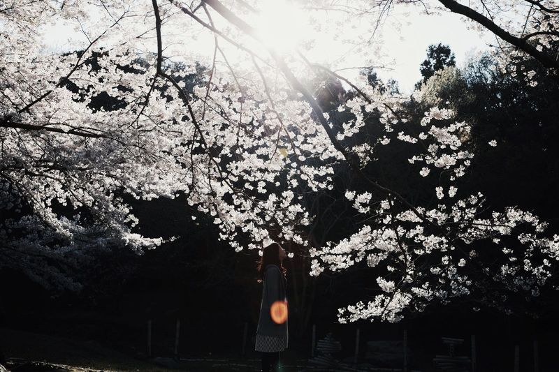 View of cherry blossoms in sunlight