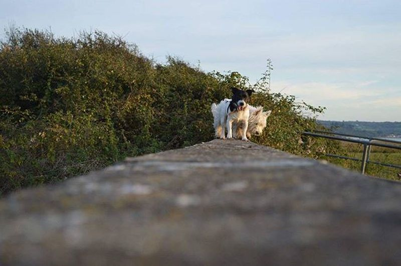 My favourite walking buddies 🐶🐕 . . . Jackrussell Westie Dogs Carunhw LoveThem  Walking Exploring Cymru Wales Nofilter