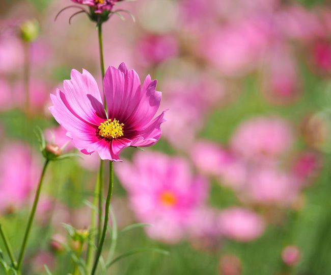 Close-up of pink cosmos flower on field