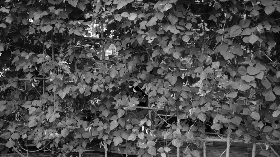Backgrounds Beauty In Nature Black & White Black And White Blackandwhite Blackandwhite Photography Brisbane Day Fujifilm Full Frame Leaf Leaf Wall Monochrome Nature No People Outdoors Vine Vines