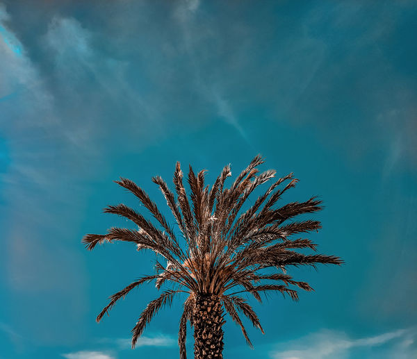 a golden palm tree Palm Tree Palm Date Palm Tree Date Palm Palm Leaf Palm Frond Turquoise Colored Turquoise Sky Golden Palm Multi Colored Sky Growing Date Frond Tropical Tree
