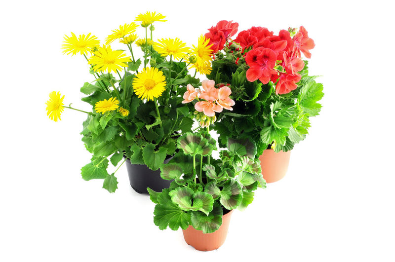 potted red pink Geranium and yellow aster daisy leopards bane on white background Flower Head Geranien Plant Red Red Color Geraniums Isolated White Background Geranium Potted Flower Flowerpot Potted Plant Green Color Flower Pot Isolated Potted Plants Aster Leopards Bane