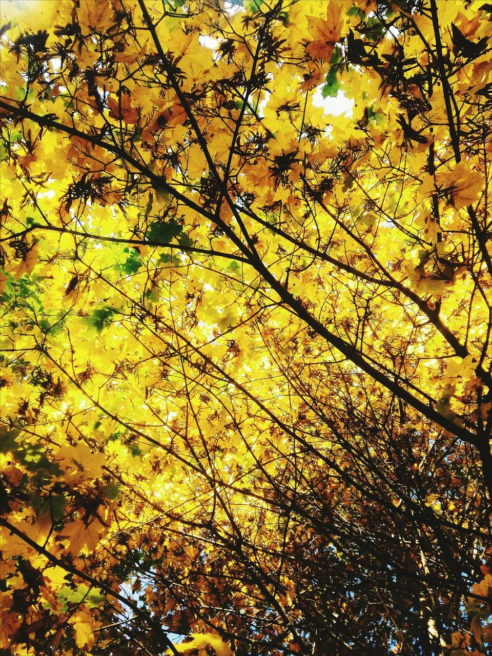 nature, beauty in nature, tree, low angle view, branch, growth, autumn, leaf, outdoors, no people, day, yellow, tranquility, backgrounds, scenics, freshness