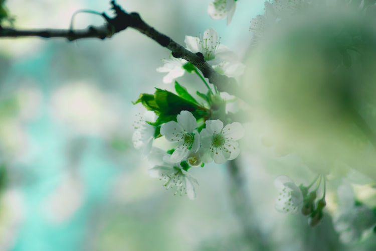 Beauty In Nature Blossom Branch Close-up Day Flower Flower Head Fragility Freshness Growth Nature No People Outdoors Plant Tree White Color