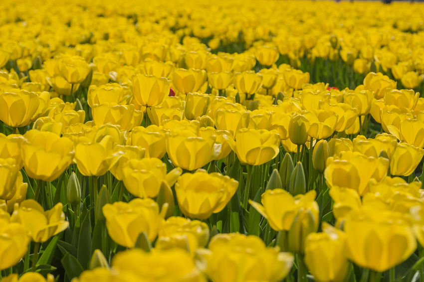 Bollenstreek, Tulip Wonderland Field Nature Yellow Flower Colours Of Nature Flower Outdoors Spring Tulip Yellow