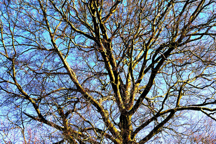 big beech Große Buche Backgrounds Bare Tree Beauty In Nature Big Beech Tree Blue Branch Clear Sky Day Full Frame Growth Low Angle View Nature No People Outdoors Plant Scenics - Nature Sky Spring Sunlight Tranquility Tree Tree Canopy