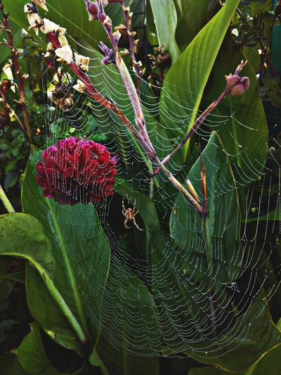 Nature Growth Plant Leaf Beauty In Nature Green Color Close-up Animal Themes Freshness Fragility Outdoors Spider Macro Spidersweb After The Rain