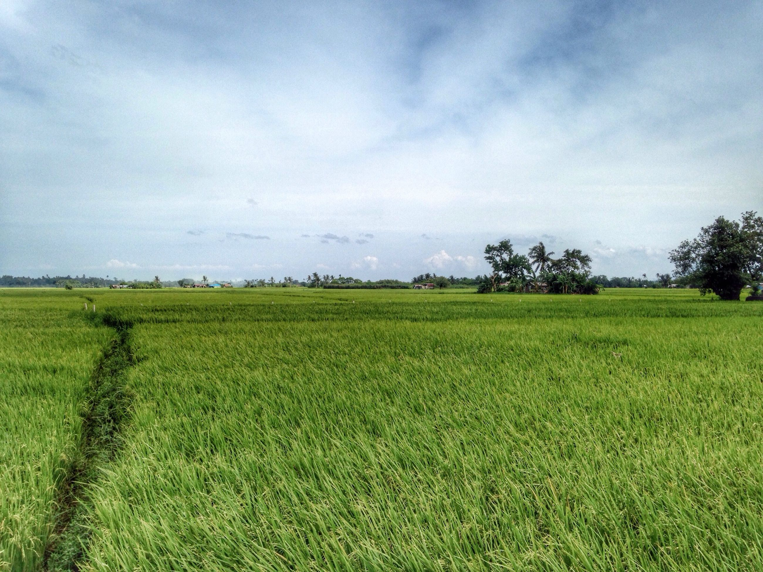 field, landscape, tranquil scene, tranquility, grass, green color, sky, agriculture, scenics, beauty in nature, rural scene, growth, nature, farm, tree, grassy, crop, green, idyllic, cloud - sky