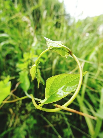 Hedgerows Vine Angle Perspectives on Nature Hedgerow Leaves Green Color Close-up Plant