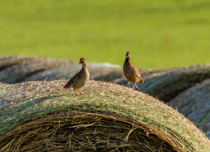 Birds On Hay Bale