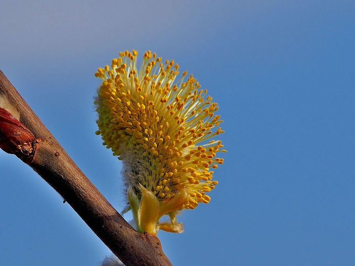Close-up of yellow pussy willow flower