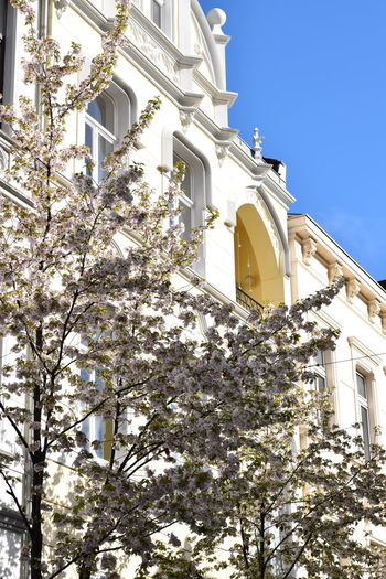 Altstadt Bonn Cherry Blossoms Architecture Branch Building Exterior Cherry Blossom Cherry Tree Cherry Tree Blossoms Chrerryblossom Growth Outdoors Springtime Tree