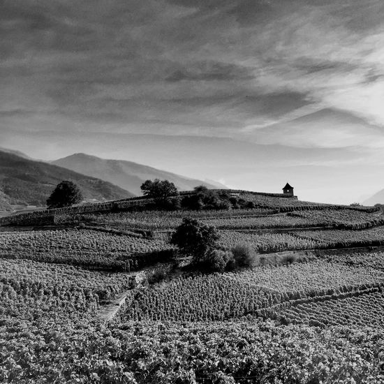 Walk with my dog in the vineyard near Sierre! TheMinimals (less Edit Juxt Photography) IPhoneography Eye4photography  Black & White landscape in Blackandwhite Black And White EyeEm Best Edits Monochrome AMPt_community Natural Beauty