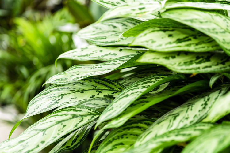 Potted green tropical house plants in pertusa. Decoration of the interior. Monstera Deliciosa Green Color Potted Flower Potted Plant Tropical Flowers