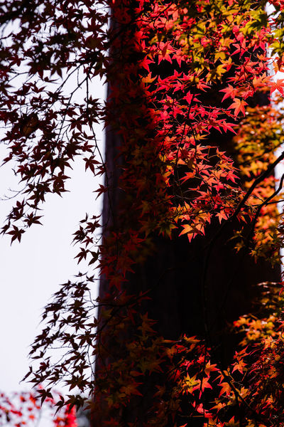 Red in Lights and Shadows Plant Tree Autumn Leaf Nature Beauty In Nature Tree Trunk Branch Tranquility Sky Maple Leaf Leaves Fall Japan Kyoto Travel Destinations Portrait Light And Shadow Silhouette Red Orange Color Contrasty Leaves 🍁
