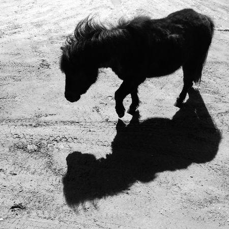 Little horse DarkAndBright Blackandwhite Animal Photography Shadows & Lights Little Horses On Our Way Little Horse Animal Animal Themes Mammal Shadow Domestic Animals One Animal Vertebrate Horse