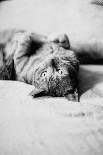Animal One Animal Mammal Looking At Camera Portrait Cat Gingercat Gingercatsrule Love Bw Bw_collection Bw_lover BW_photography Bw_photooftheday Photographer First Eyeem Photo