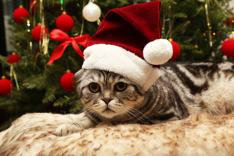 Christmas Celebration Mammal Holiday Animal Animal Themes Santa Hat One Animal Pets Domestic Animals Domestic Christmas Decoration Tree Vertebrate Cat Hat Close-up No People Focus On Foreground Whisker Christmas Ornament Xmas New Year