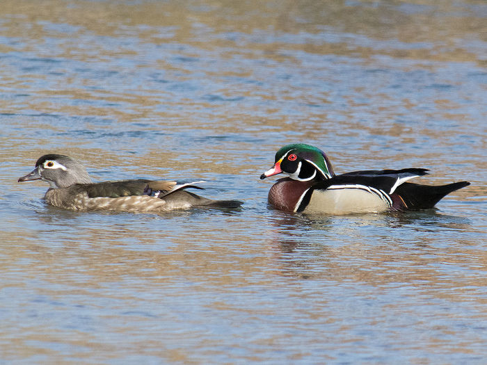 Male and Female Wood Ducks swimming together. Beauty In Nature Birds Lovers Male And Female Ducks Male And Female Wood Ducks Maleandfemaleducks Togetherness Woodduck